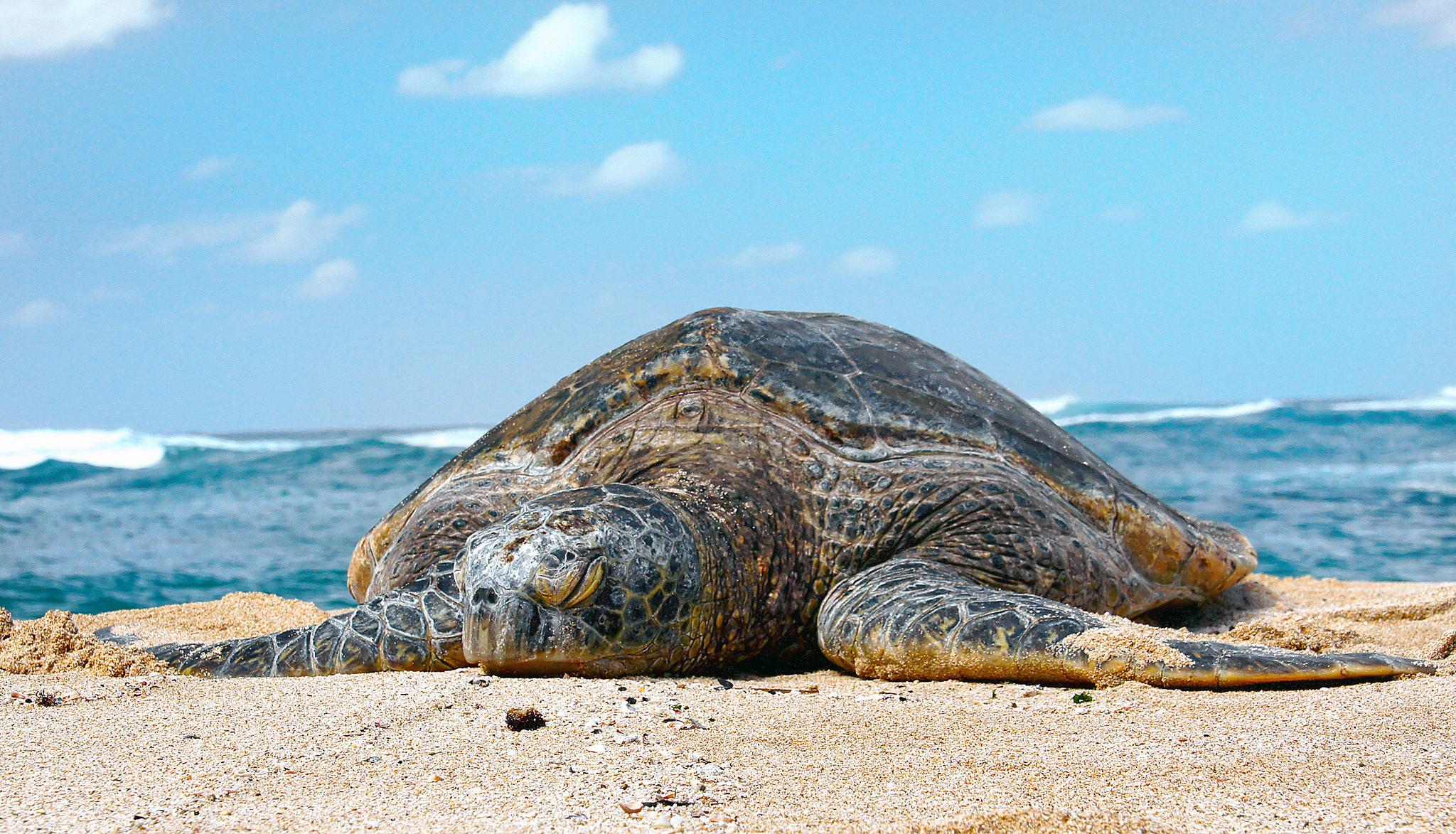 turtles in Hawaii